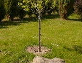 Drzewko Kongresowe- posadzone na terenie ROD